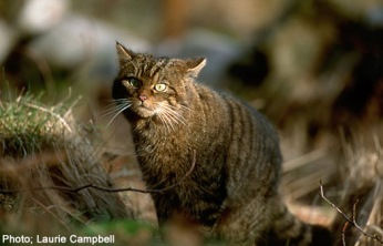 wildcatpic1