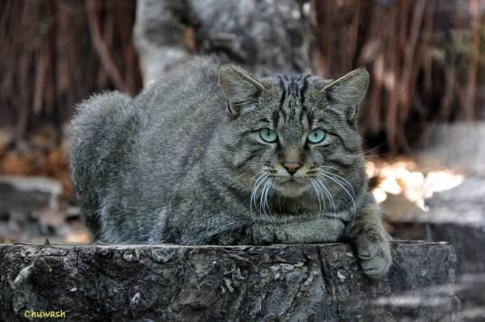 felis silvestris silvestris in Kiev zoo