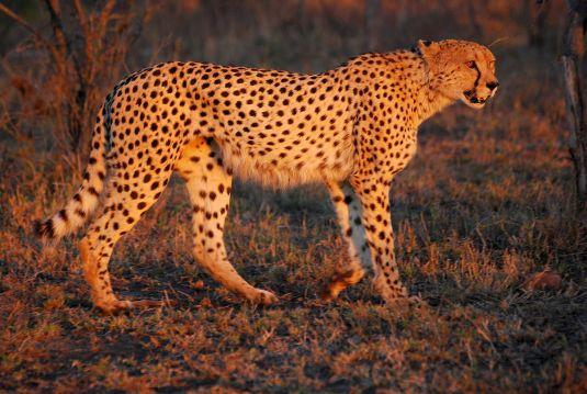 1200px-Cheetah_Umfolozi_SouthAfrica_MWegmann