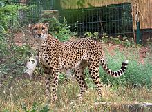 220px-Gepard_soemmeringii.jpg