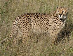 250px-Africat_Cheetah