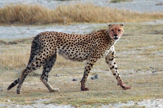Acinonyx_jubatus_walking_edit